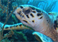 Sea Turtle at Little Cayman